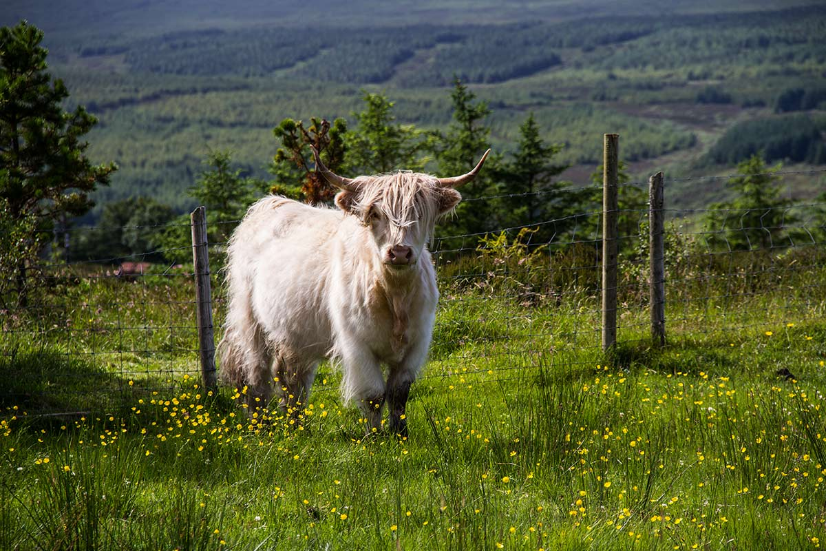 Edinbane, On The Croft, Skye Websites Photography Taigh Dubh, Highland Cow